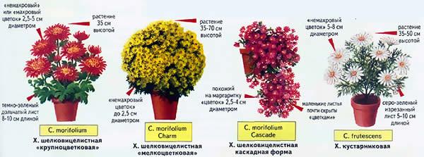 Как пересадить хризантему в домашних условиях