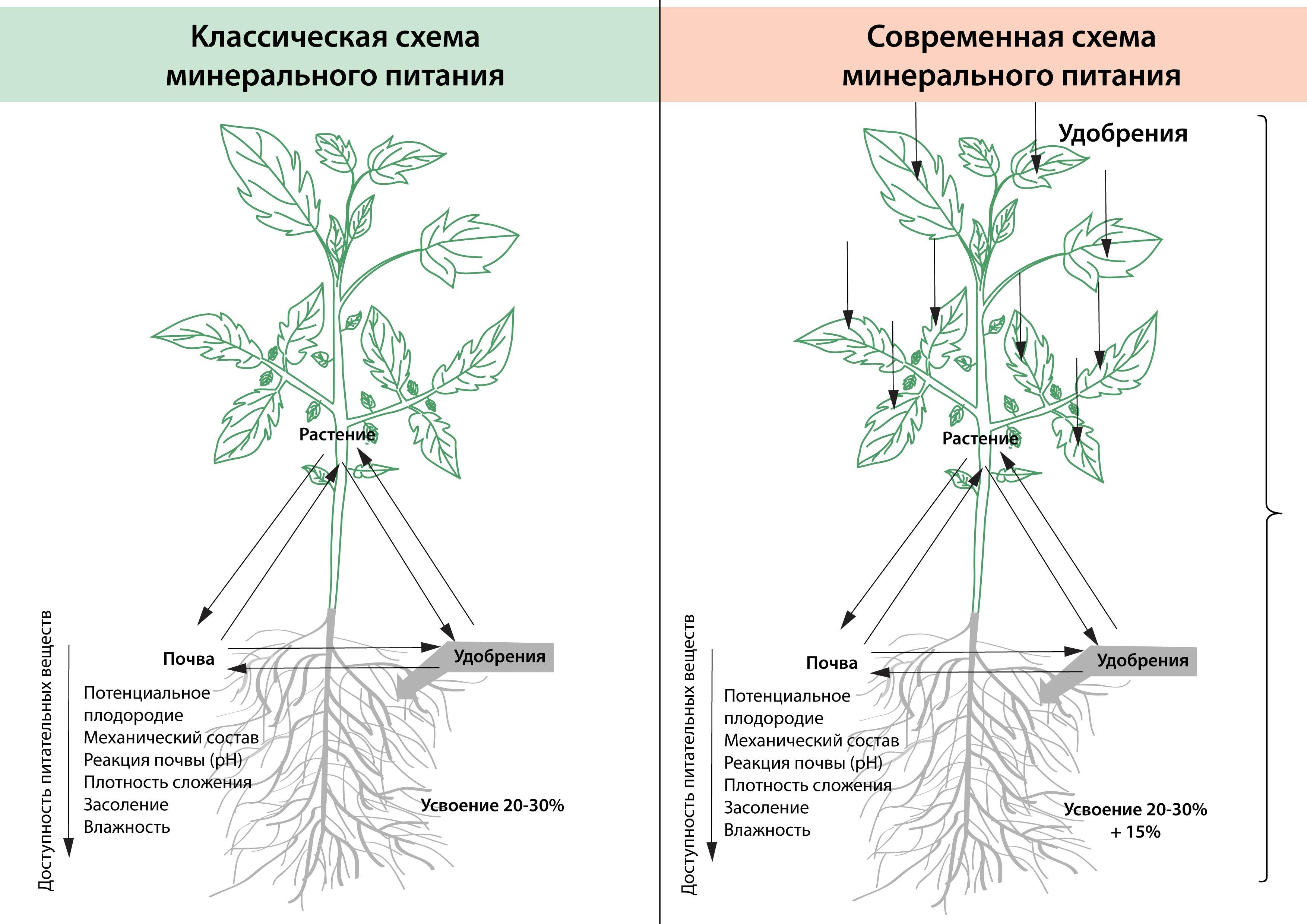 Схема транспорта веществ в растении