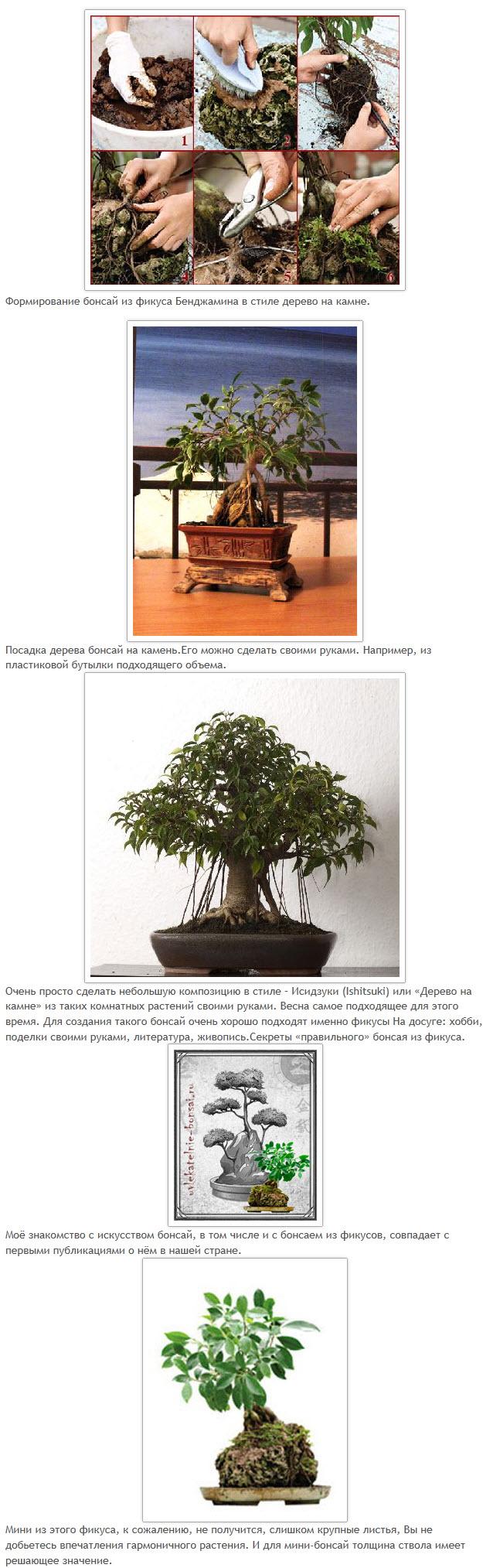 Фикус бенджамина уход в домашних условиях фото болезни и их лечение
